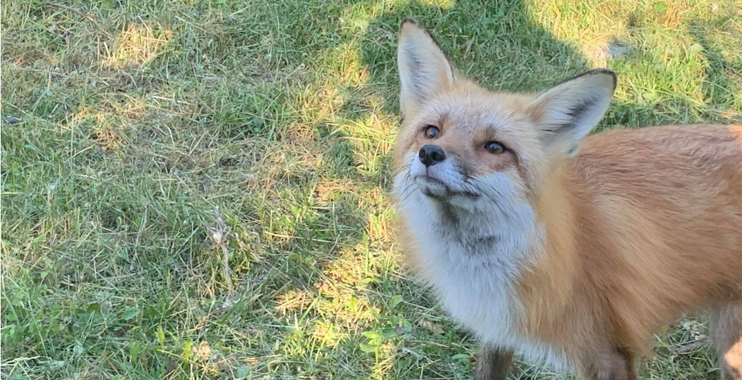 Toronto Zoo searching for young fox that escaped enclosure last month