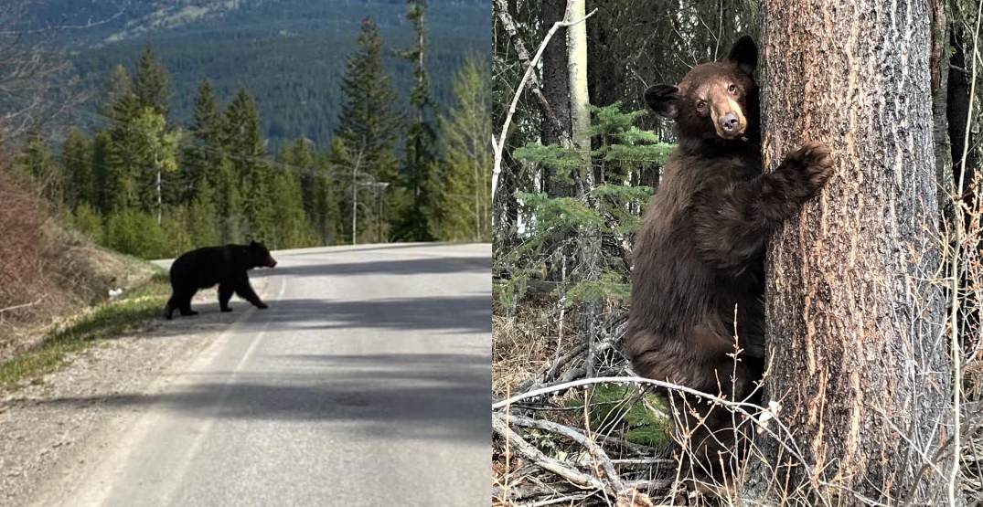 More than 100 BC bears destroyed last month during their winter weight gain push