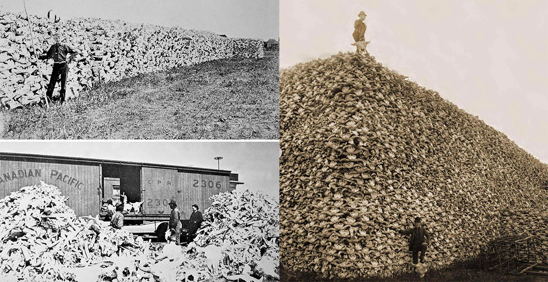 """The art piece was influenced by the mass killing of bison during colonial railway expansion. Soule writes that decimation of herds is an aspect of Canadian history that's not widely acknowledged but has consequences that are still felt today. """"Built on Genocide will address the direct correlation between the genocide of the buffalo and the genocide of Indigenous peoples in Canada,"""" he wro"""