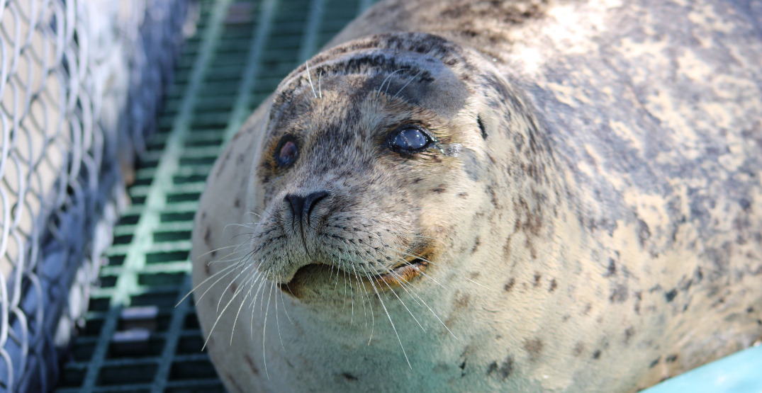 Vancouver Aquarium welcomes newest adorable rescued seal