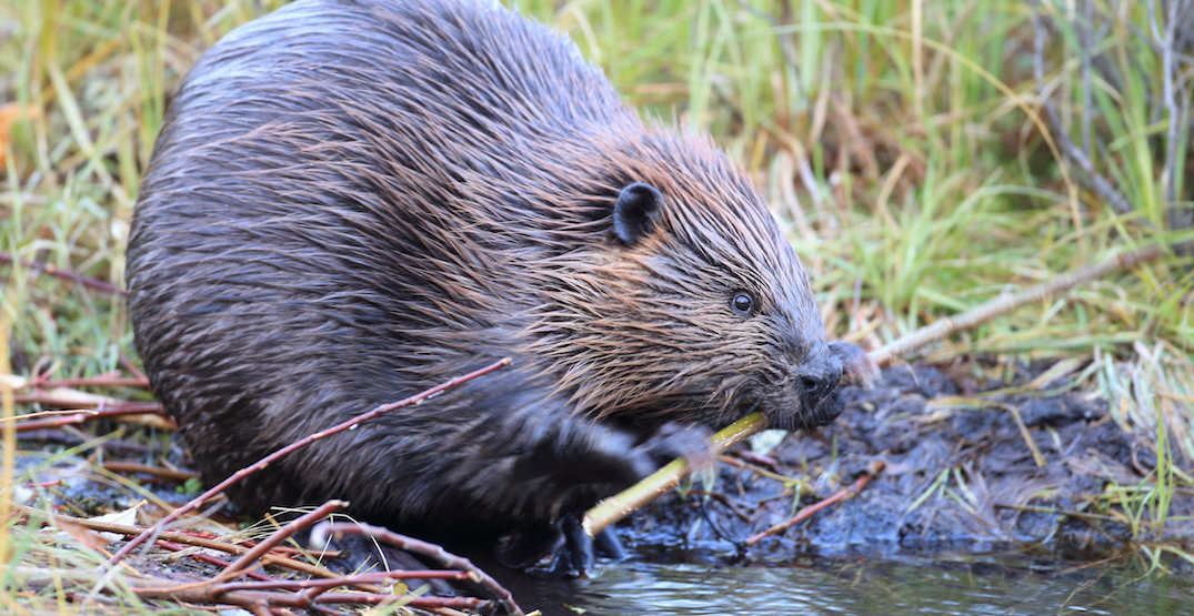 GO Trains are having to deal with beavers damming up the tracks