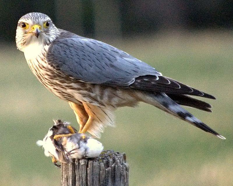 """""""Merlin prey fencepost Cochrane cropped"""" by Just a Prairie Boy from Calgary, AB, Canada - Merlin:"""