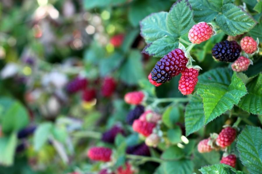 U-pick-farm-blackberry-bush-1