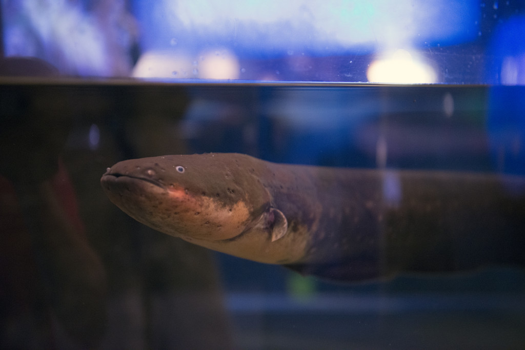 electric eel vancouver aquarium
