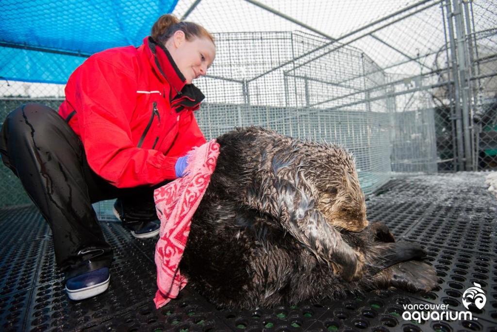Vancouver Aquarium Sea Otter Whiffen