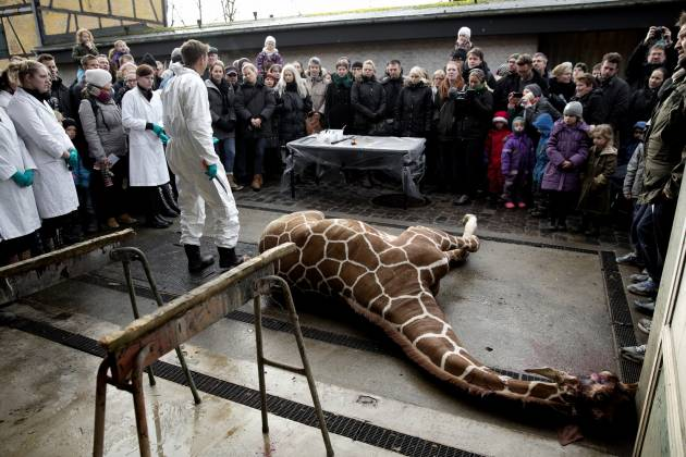 Giraffe Post Mortem