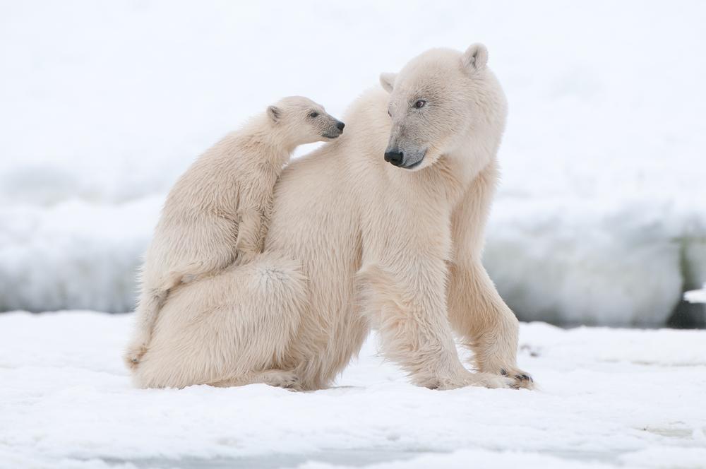 Polar bears stock