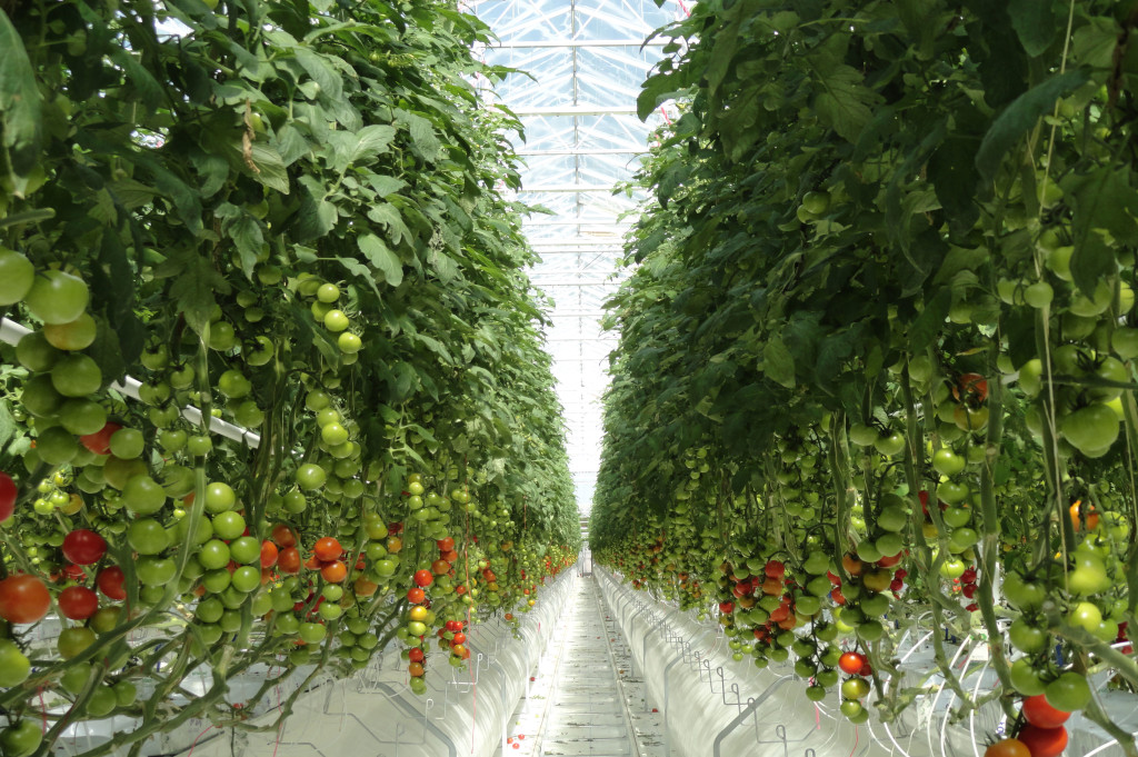 tomatoes-growing