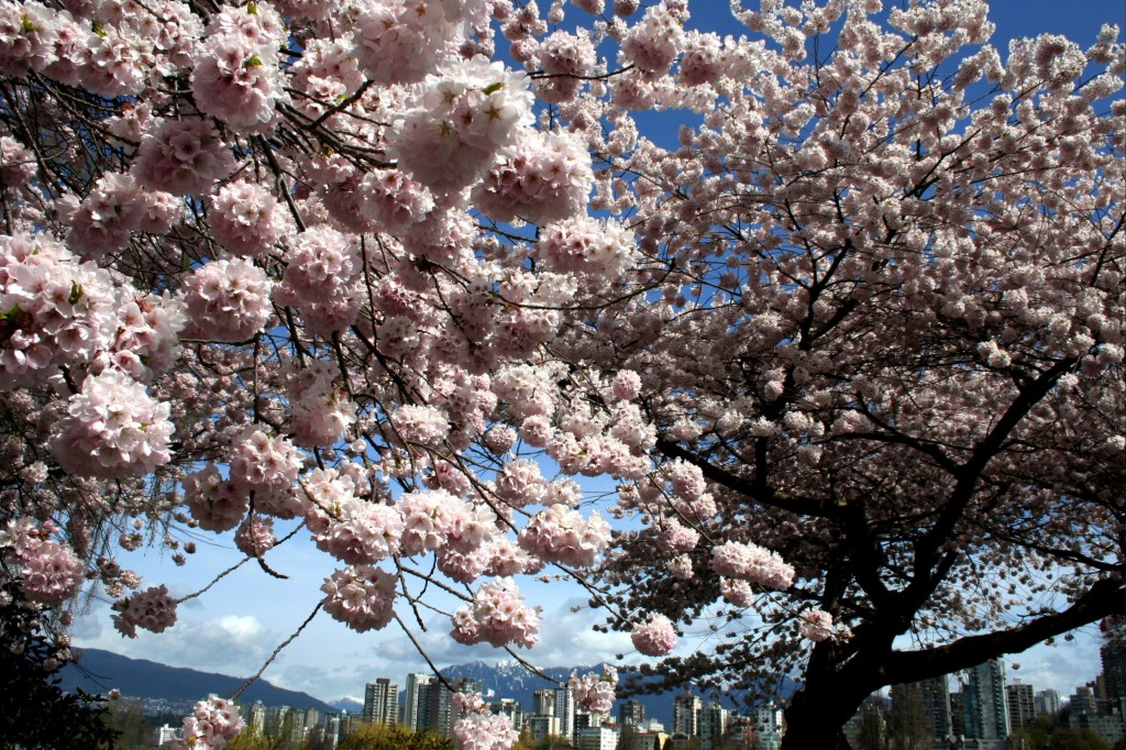 Vancouver Cherry Blossom Festival space centre