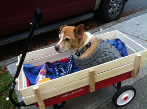 Senior dog Pete taking a wagon ride.