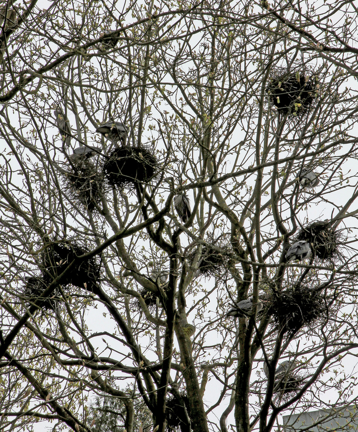 Pacific great blue heron nests Stanley Park Vancouver