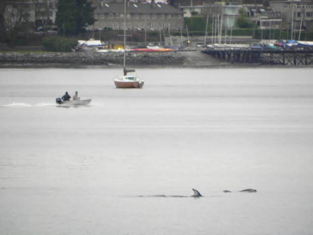 dolphins vancouver