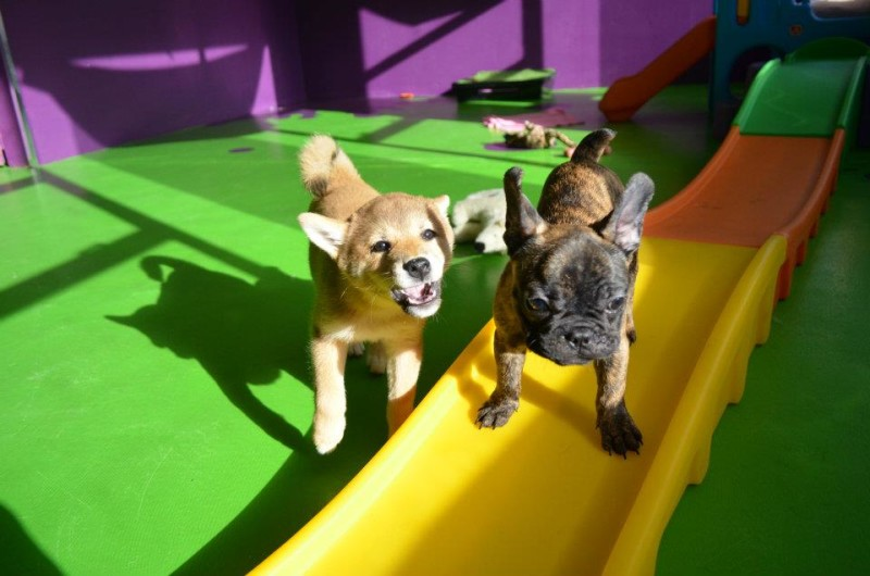 Small dogs enjoy playtime at Canine Adventure Den
