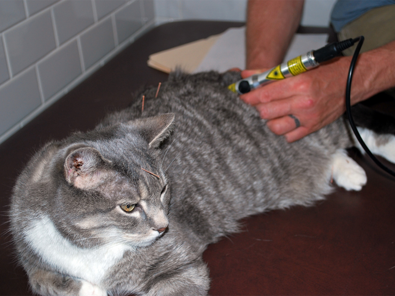 A cat being treated at David Lane's clinic.