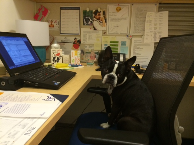 Marketing Manager/Boston Terrier (Take Your Dog to Work Day)
