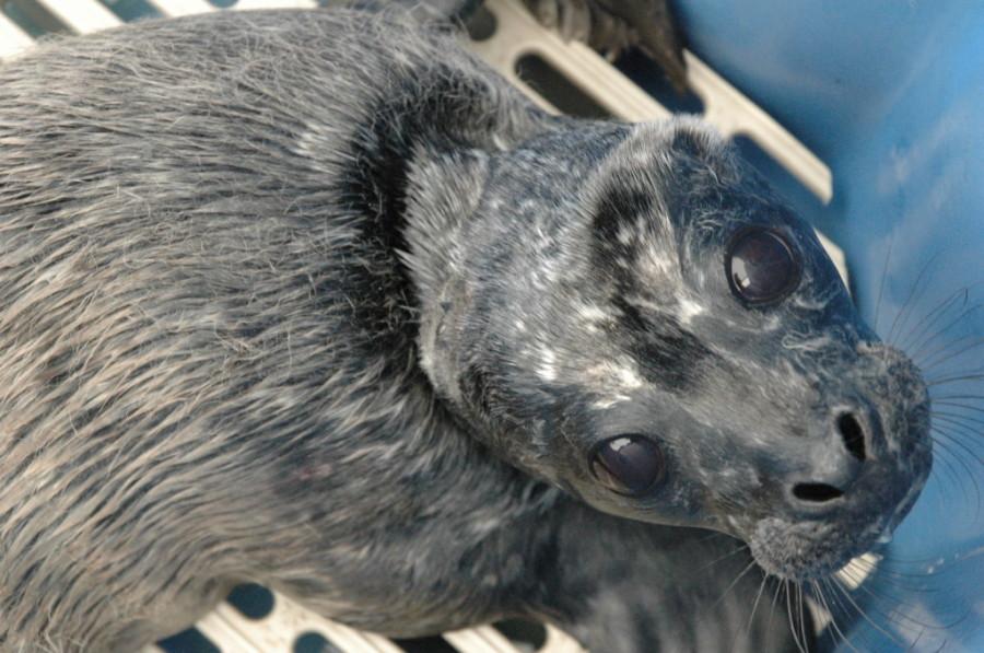 Gold, rescued July 16 — Image: Vancouver Aquarium