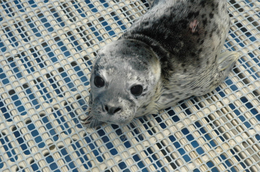 Iodine, rescued July 16 — Image: Vancouver Aquarium