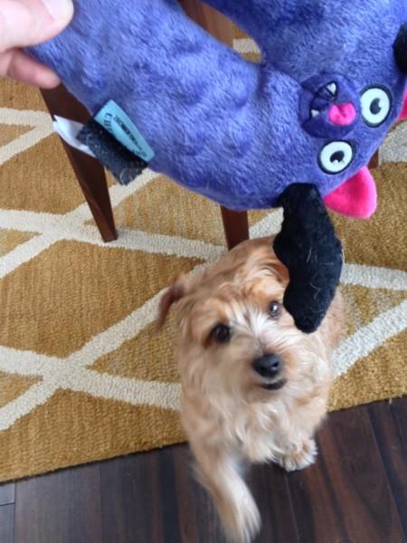 Murphy enjoying his first BarkBox toy.
