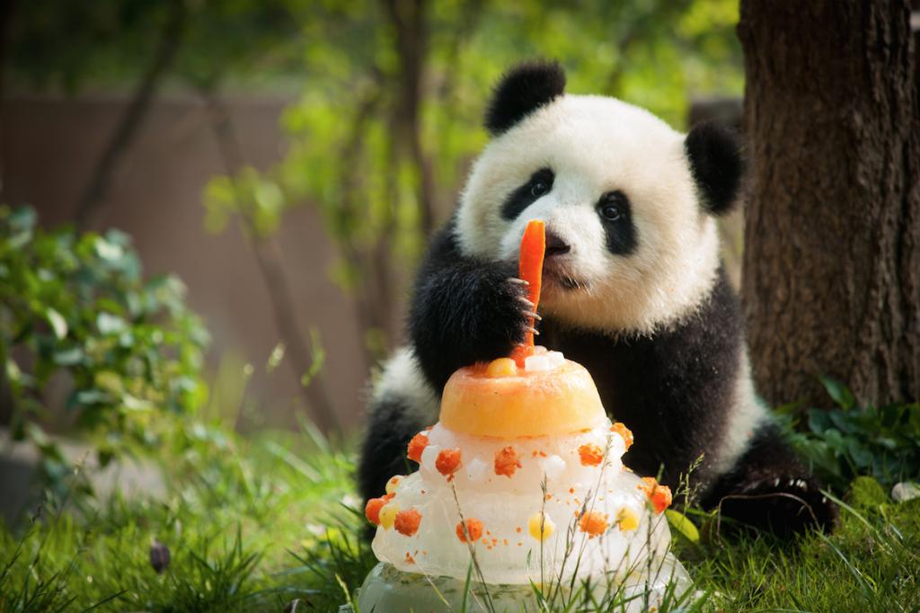 lulu yvr panda 1