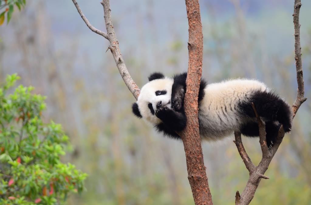 lulu yvr panda 2