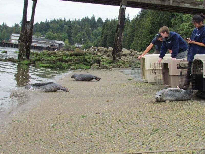 Vancouver Aquarium 2014 seal release