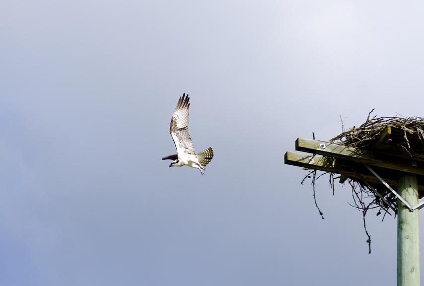 Osprey, Grindrod, Shuswap, spring, wildlife, Darren Robinson