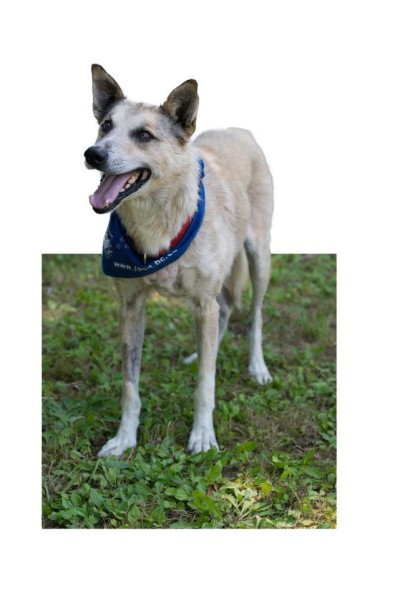 Goofy the Husky cross up for adoption at the Burnaby SPCA
