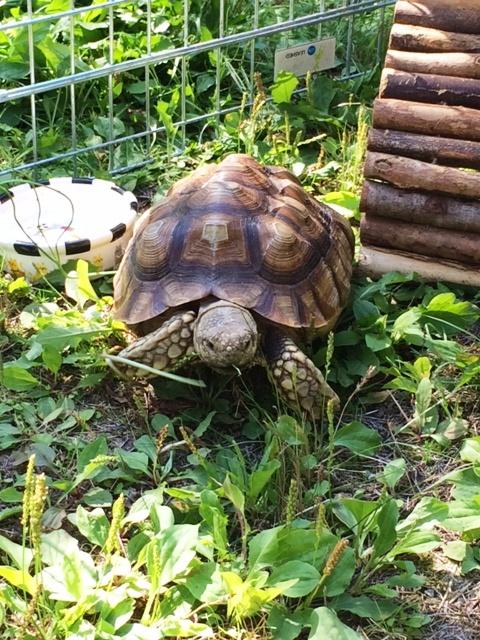 Eddie tortoise 2