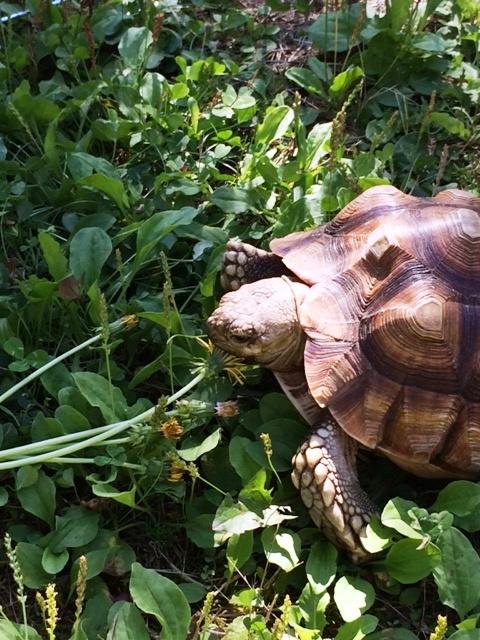 Eddie tortoise 3