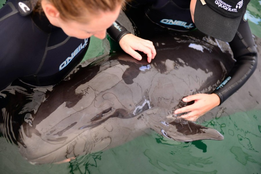 vancouver aquarium false killer whale 1