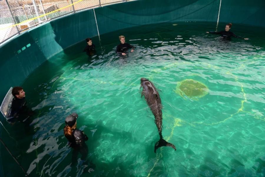 vancouver aquarium false killer whale 9