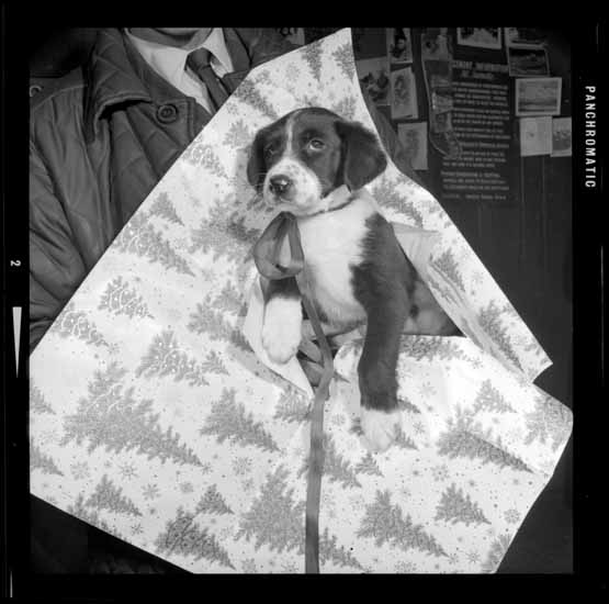 S.P.C.A. Christmas Puppy, Dec. 19, 1966. Photo via Vancouver Public Library.