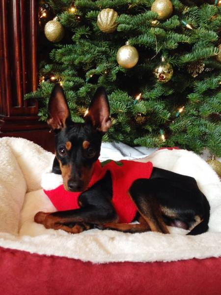 Dasher the 14-pound Min Pin is nine-months-old and loves cuddling. (Big and Small Rescue)
