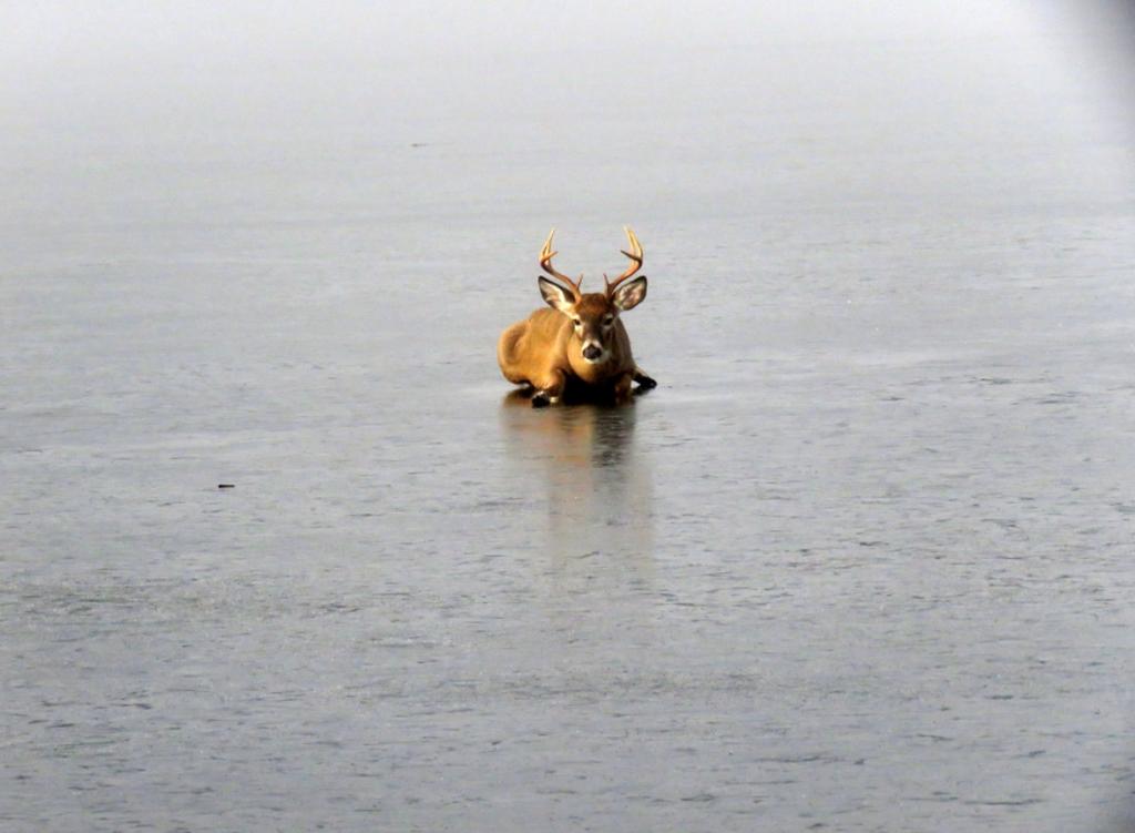 deer ice rescue lake okanagan 3