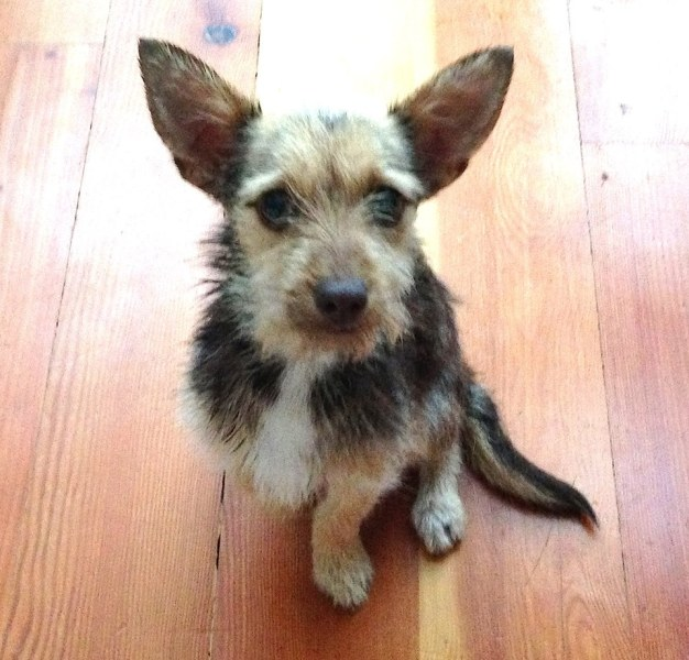 Lulu the terrier cross has big ears and is looking for a permanent home. (Big and Small Rescue)