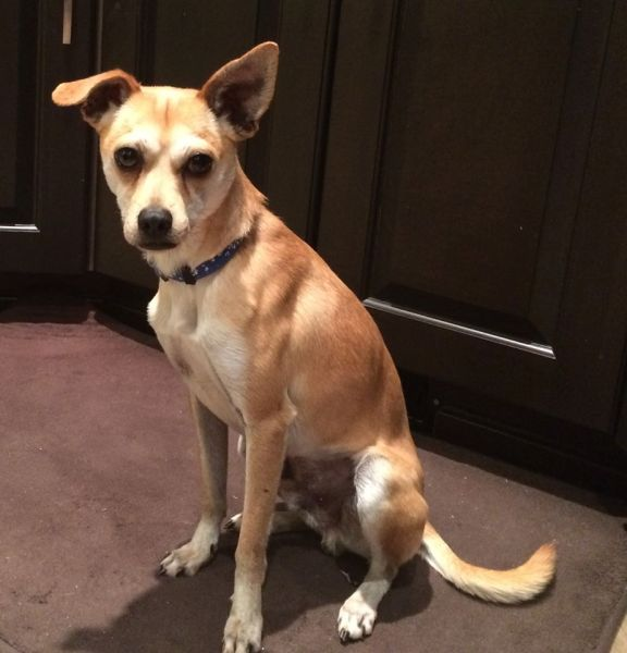 Meet Rigby, the neutered two-year-old short-haired Chihuahua cross. (Big and Small Rescue)