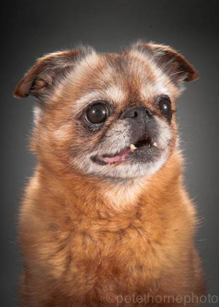 Finnegan, a 12-year-old smooth coat with a heart murmur. (Facebook/Old Faithful Pet Project)