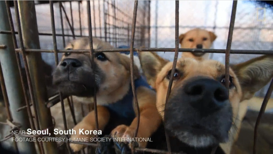 dogs - korea
