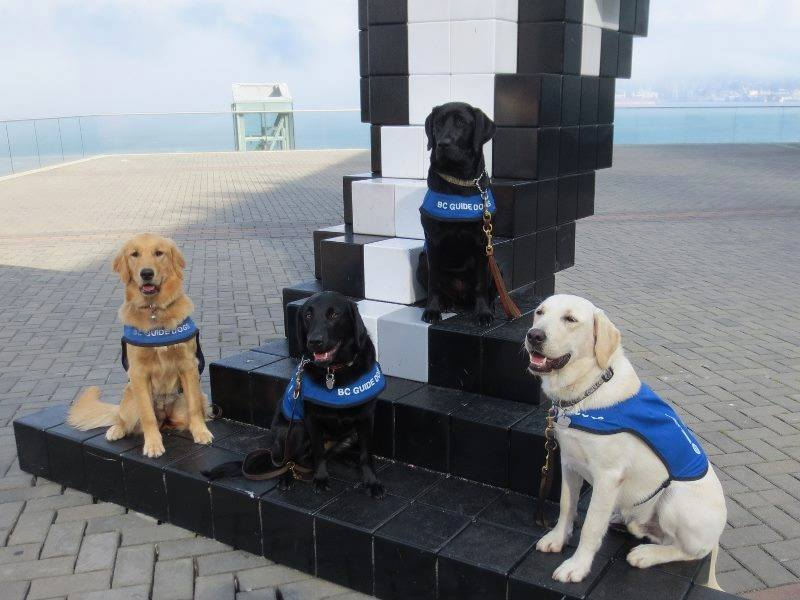 Some of the awesome B.C. guide dogs the race will benefit (B.C. and Alberta Guide Dogs/Facebook)