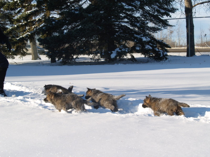 The newest canine recruits enjoying the snow at the Alberta training centre. (RCMP)