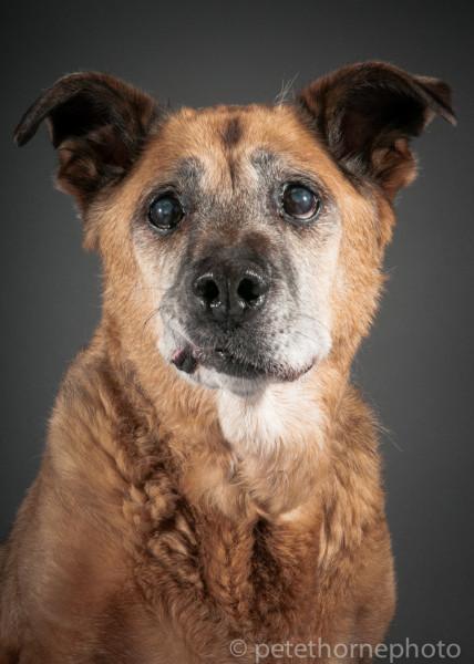 Shep, a 16-year-old sweet German shepherd-cross living at SAINTS. (Pete Thorne)