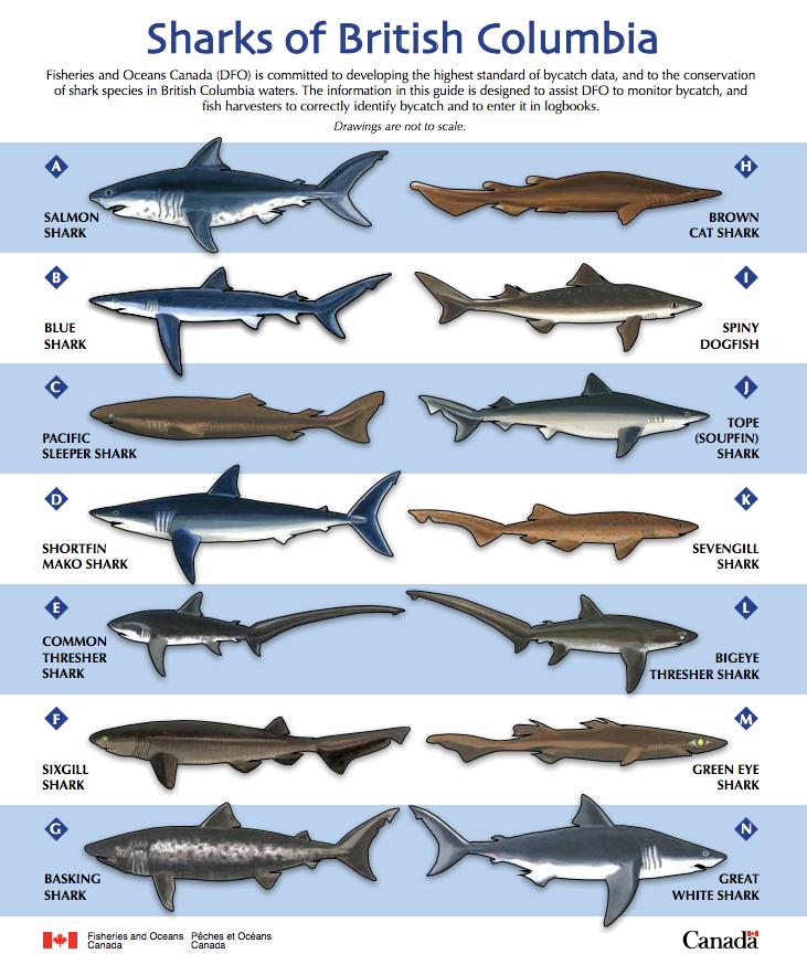 british columbia sharks