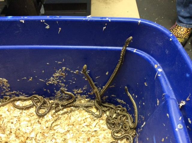 garter snakes WRA 6