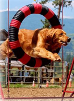 Goldens & Newfie Drill Team (Pet Lover Show)