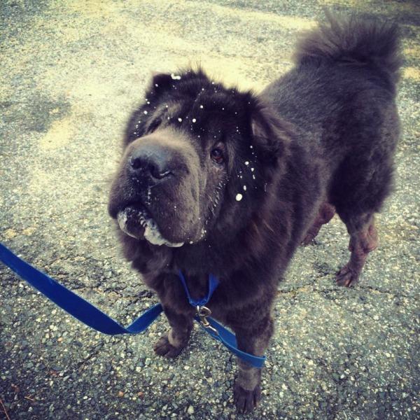 Biggie enjoying the snow. (SPCA)
