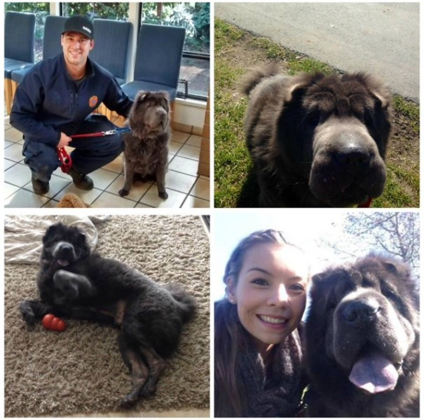 Biggie loving life with his new family (West Vancouver SPCA).