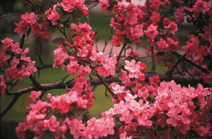 Kelowna Blossom Pink