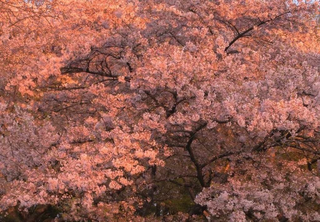 cherry blossoms chivi tran