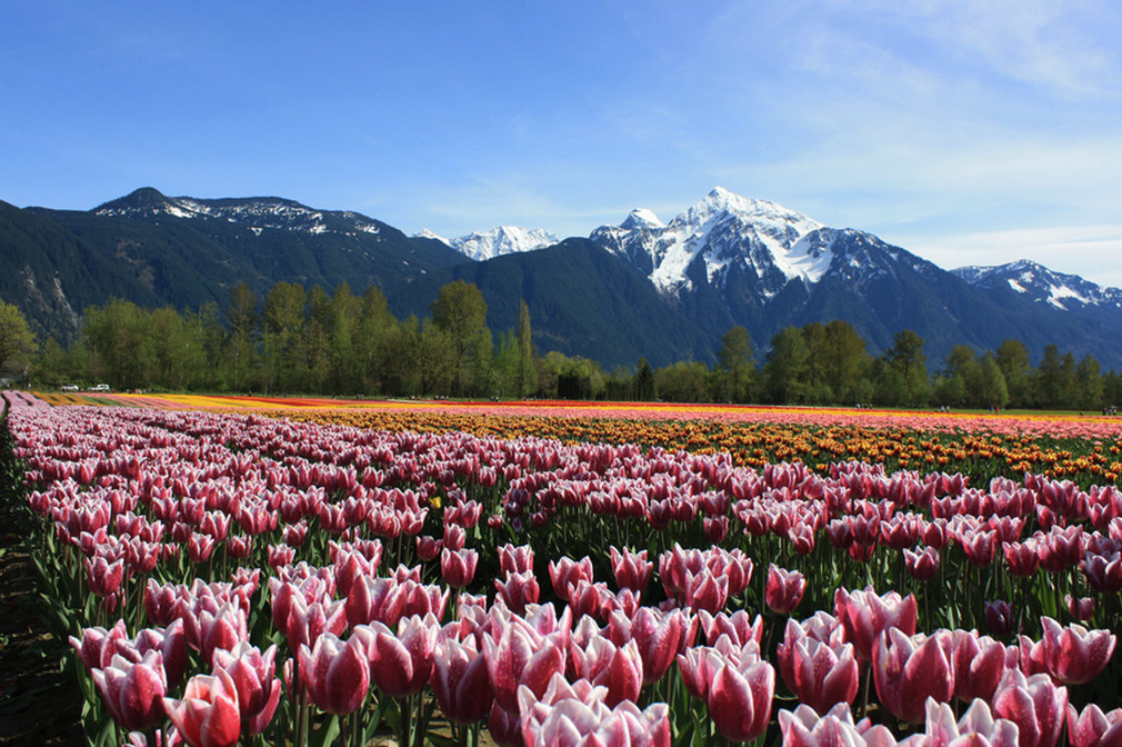 Image: Tulips of the Valley Festival