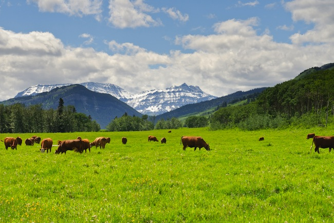 Cattle in Alberta/Shutterstock